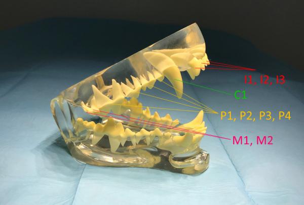 Model úplného trvalého chrupu psa